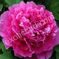 Древовидный пион (розовый махровый)