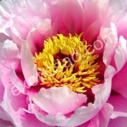 Древовидный пион (розовый)