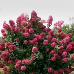 Гортензия метельчатая Вимс Ред (Wim's Red) фото