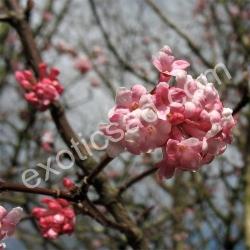 Калина Фарера (Viburnum farreri)
