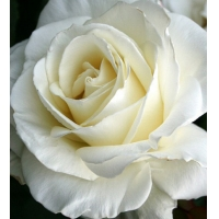 "Плетистая роза ""Клаймбинг Айсберг"""