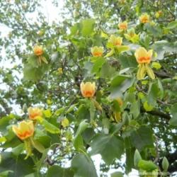 лириодендрон тюльпановый фото