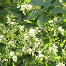 Софора Японская (Sophora Japonica)