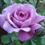 "Плетистая роза ""Блу Мун"""