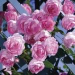 """Плетистая роза """"Жасмина"""""""
