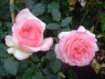 """Плетистая роза """"Эден Роуз"""""""