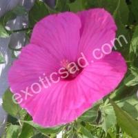 Гибискус гибридный (Русанова) розовый №2