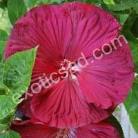 Гибискус болотный (бордовый)