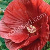 Гибискус болотный cranberry crush