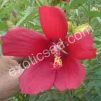 Гибискус гибридный (Русанова) красный