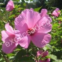 Гибискус гибридный (Русанова) розовый №1