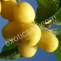 Свежие плоды кизила сорта Янтарный (желтые)