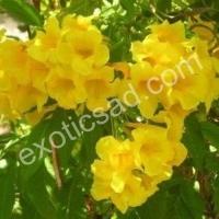 Кампсис желтый (Campsis radicans)  Флава