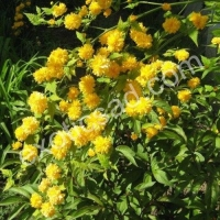 Керия японская Пленифлора (Kerria japonica Pleniflora)