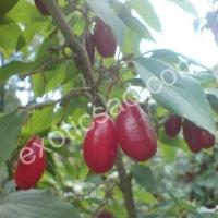 Кизил крупноплодный (Сеянцы)