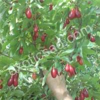 Свежие плоды кизила