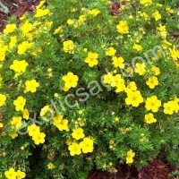 Лапчатка кустарниковая (Potentilla fruticosa) Goldstar