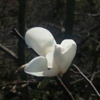 Магнолия Кобус первое цветение