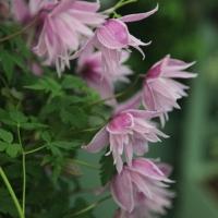 Княжик Markham's Pink