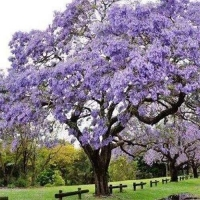 Павловния дерево