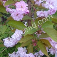 Сакура (Prunus serrulata) Kanzan