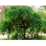 Взрослое дерево софори