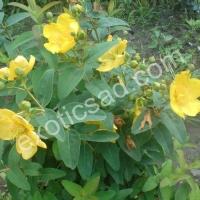 Зверобой кустарниковый (Hupericum) Hidcote