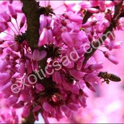 Церцис Канадский (Cercis canadensis)